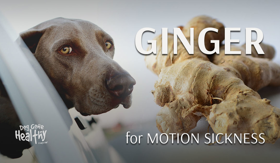 Ginger for Motion Sickness in Dogs